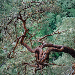 Ancient, Gnarled